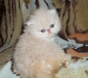 красивые котята-экзоты
