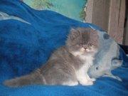 Питомник предлогает персидских котят от чистокровных родителей.