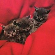 Британские голубые котята ищут хозяина