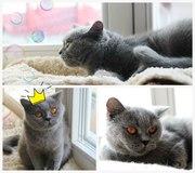 г.Лида и другие города.  Молодая кошка,  примерно 1-2 года. Стерилизов