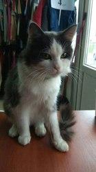 г.Лида  Шикарный кот,  2 года,  ищет ДОМ и любящего хозяина.Ходит в лот